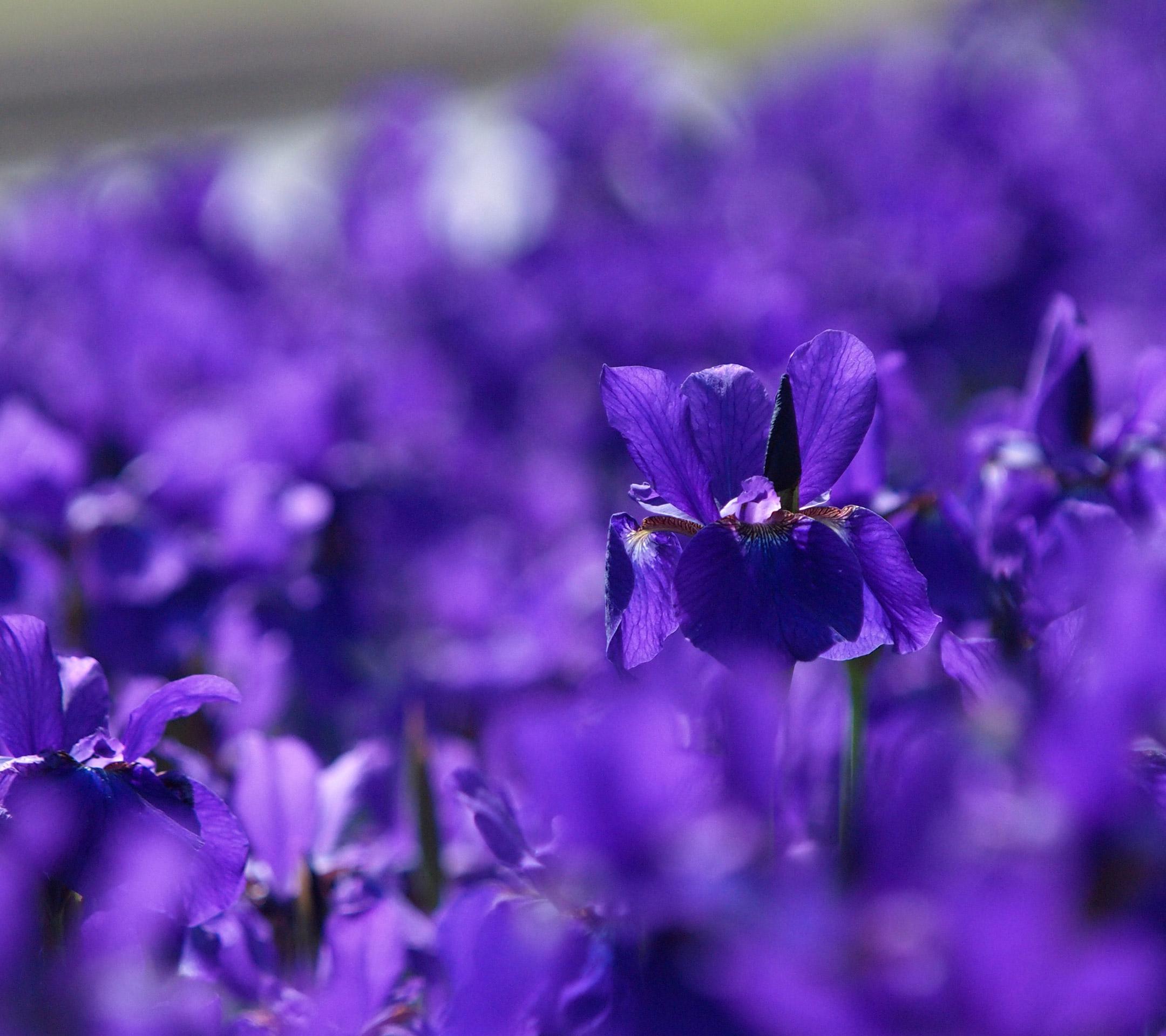 シンプル 紫バイオレットの壁紙紫色素材のシンプル写真の